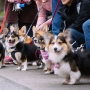 Photos: Corgis celebrate Valentine's Day with Greenlake walk